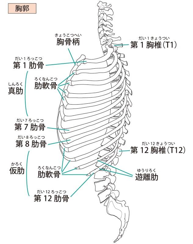 胸郭の画像
