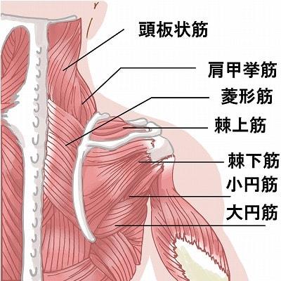 四十肩・五十肩に関係する筋肉図