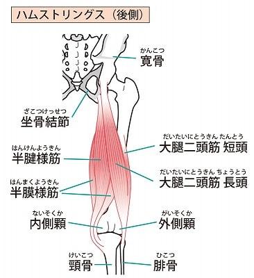 鵞足炎の筋肉図